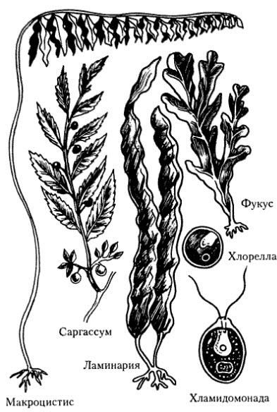 зеленые и бурые водоросли